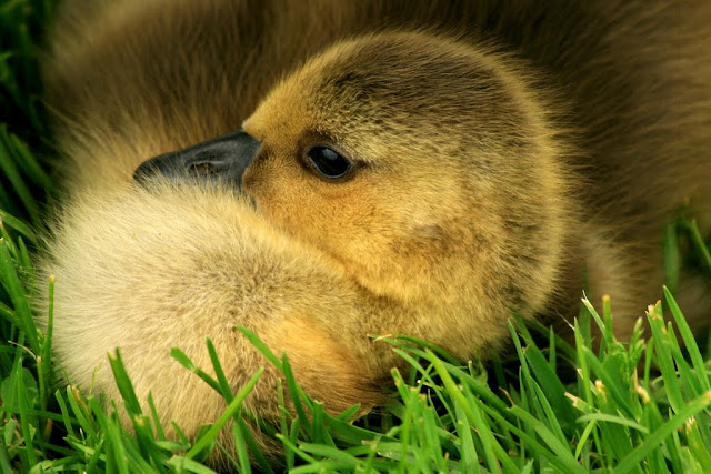 Baby Canada Goose, By the canal, Ottawa, Canada