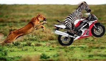 Smart way for a zebra to run away