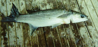 Grey Mullet on harmed by plastic litter