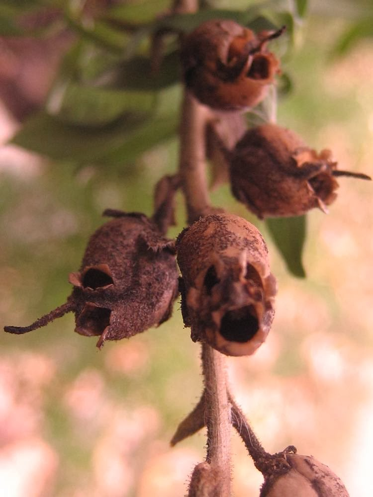 The Antirrhinum¸ Dragon's Skull ─ The Repulsive Complexion of Snapdragon Seed Pods
