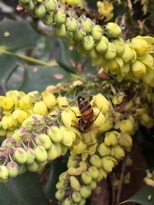 bee, beekeeping, beeline, foraging, mahonia, pollen, Thomas D. Seeley,