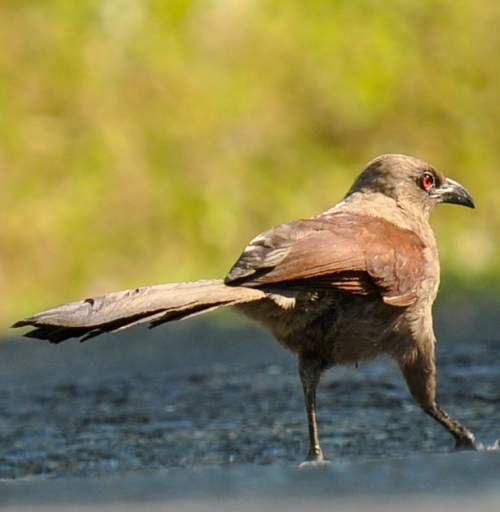 Indian birds - Image of Andaman coucal - Centropus andamanensis