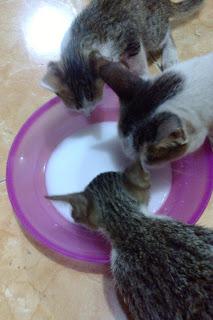 Suplemen Tambahan Yang Sehat Untuk Anak Kucing