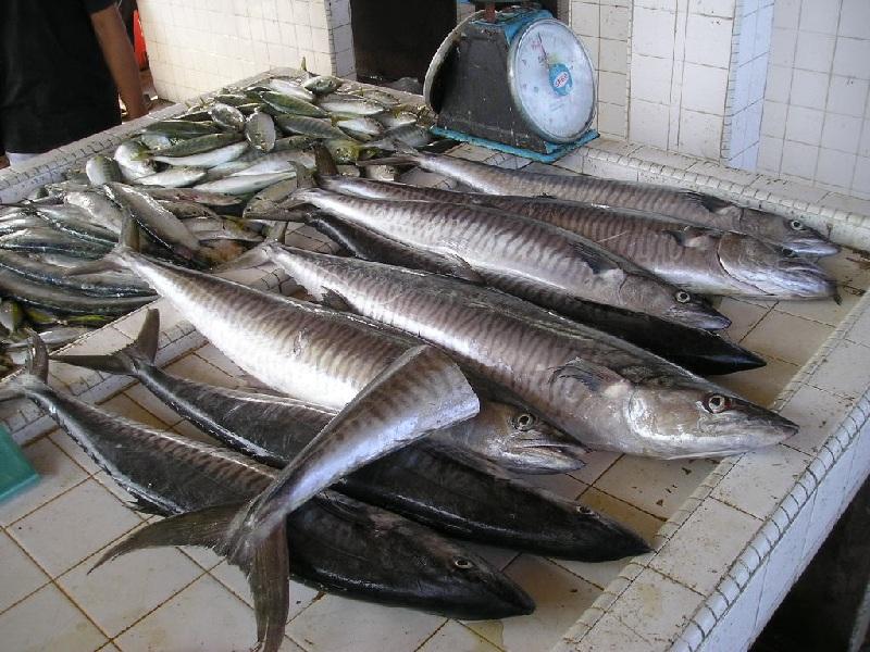 Ikan Laut Tenggiri