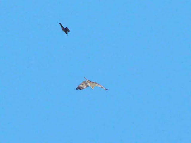 Osprey chased by crow