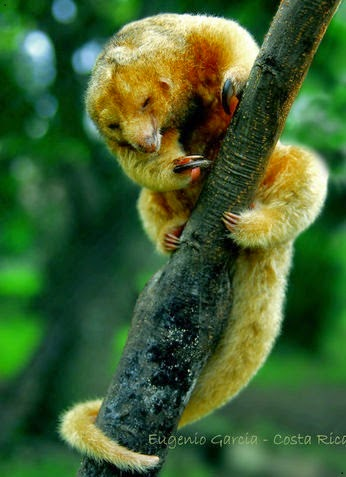 Cute Silky Anteater on a tree