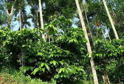 Bibit kopi Robusta, Bibit kopi robusta unggul, Pohon pelindung kopi robusta