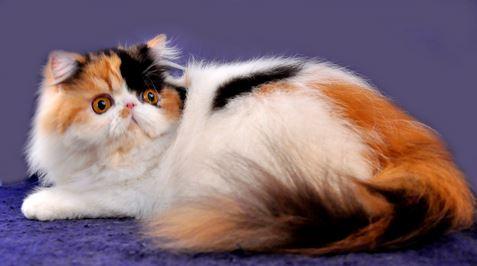 Sejarah Asal Usul Kucing Persia