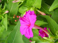 Bunga pukul 4
