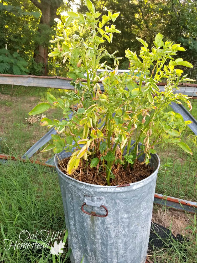 How To Grow Potatoes In Containers Oak Hill Homestead