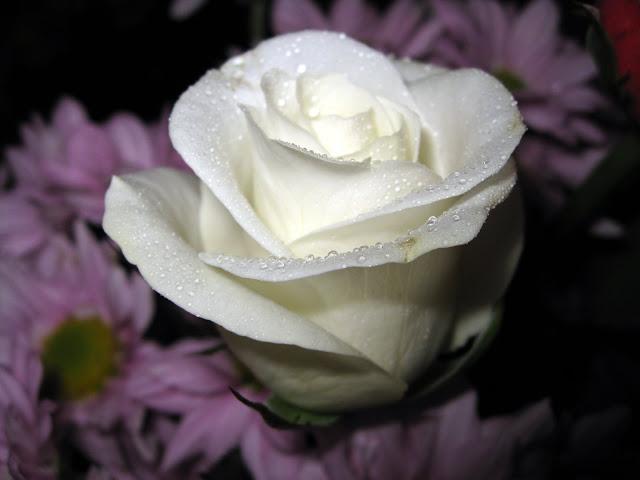 hình ảnh đẹp hoa hồng trắng 4