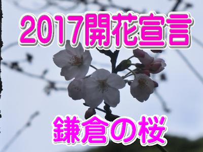 2017鎌倉開花宣言