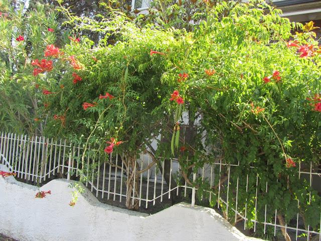 Pianta-Bignonia-Campsis-radicans