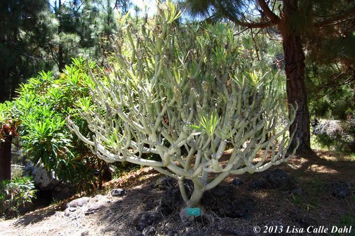 Descubriendo hojas el jard n canario parte 2 for El jardin canario