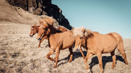 Horses in Iceland and Romania