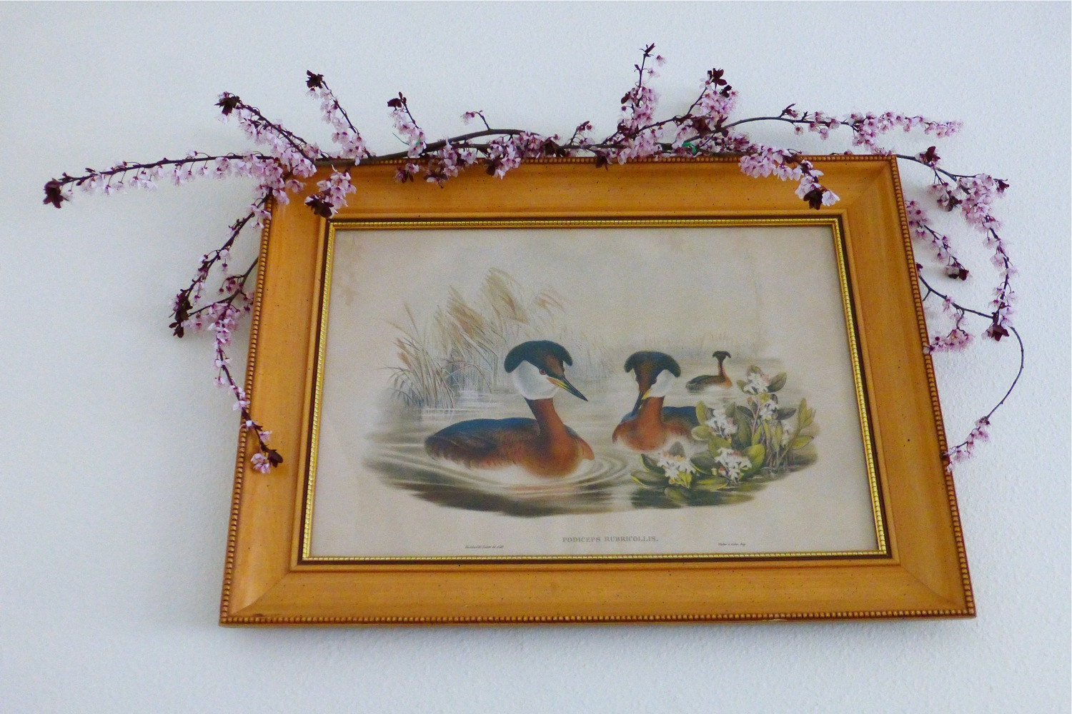 vintage John Gould Podiceps Rubricollis, Red-Necked Grebes, Birds of Great Britain