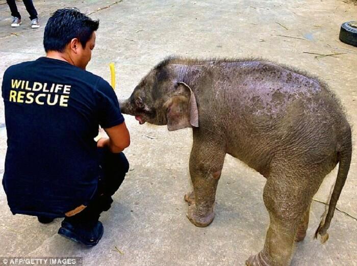 Gajah Kerdil Borneo