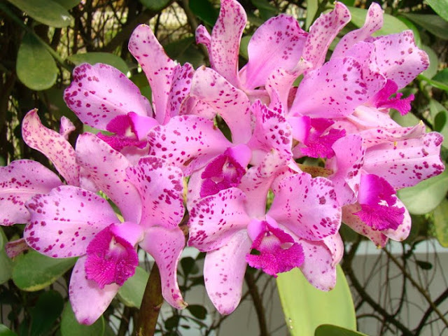 Festival de Orquídeas e Rosas do Deserto será realizado nos dias 13, 14 e 15  de Julho na Praça da Prefeitura em Cacoal