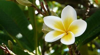 cara merawat bunga kamboja,bunga kamboja jepang,jenis bunga kamboja,ciri ciri bunga kamboja,klasifikasi bunga kamboja,bunga kamboja merah,nama latin bunga kamboja,bunga kamboja kering,
