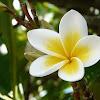 Manfaat Bunga Kamboja Untuk Kesehatan