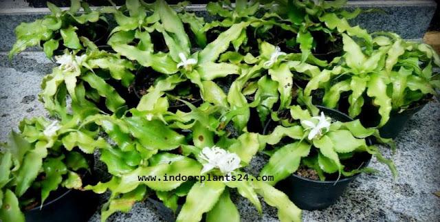 Cryptanthus Acaulis Bromeliaceae INDOOR HOUSE PLANT picture