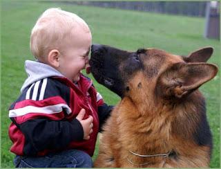 Los pastores alemanes son un medio de gran raza de perro que se originó en Alemania. Inteligente