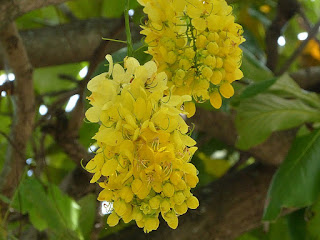 Cytise indien - Cassier à fleurs jaunes - Casse fistuleuse - Cassia fistula