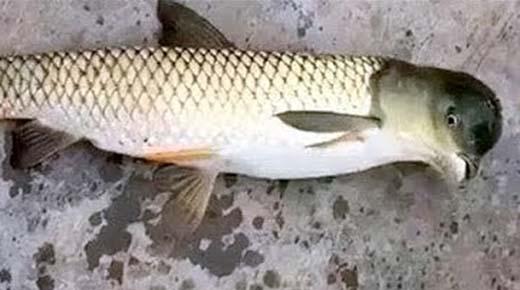 Pescador chino capturó un pescado mutante, con cabeza de paloma