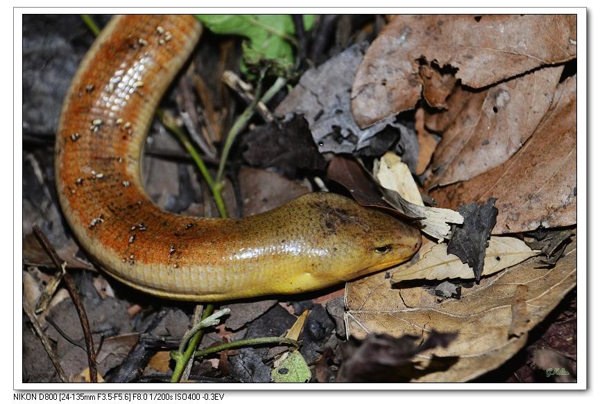 且樂山林: 哈特氏蛇蜥