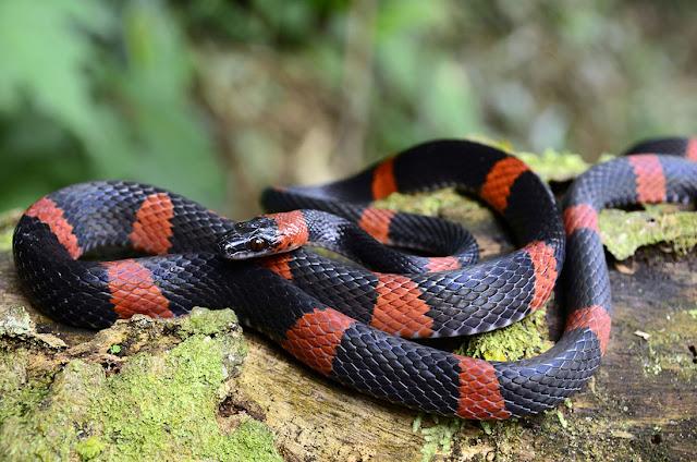 kobra Karang