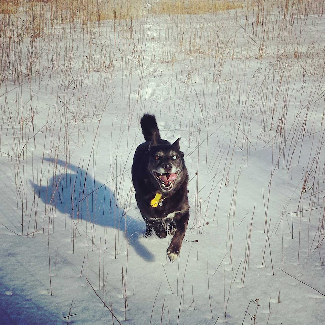 Shadow happy dog running in the snow