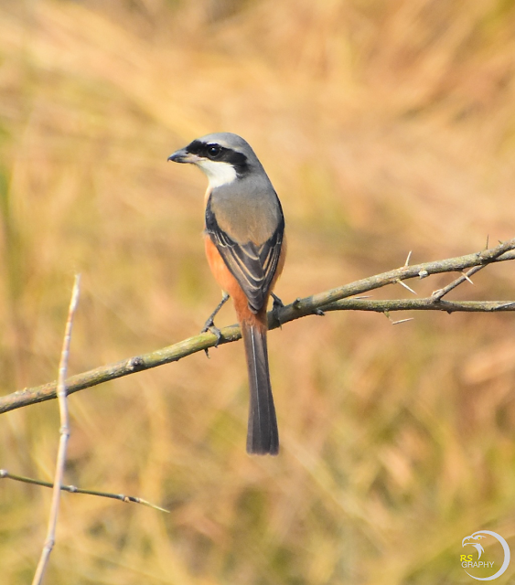 Long tailed shrike/ Rufous backed shrike (3 Images)