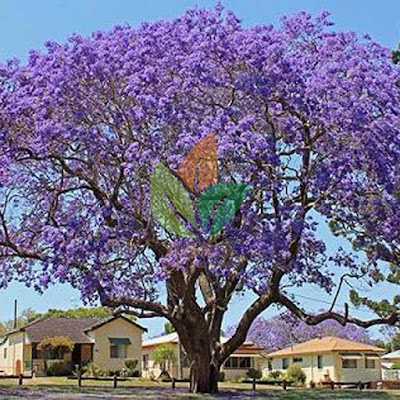 Pohon Jacaranda Ungu Ukuran 3-4 Meter