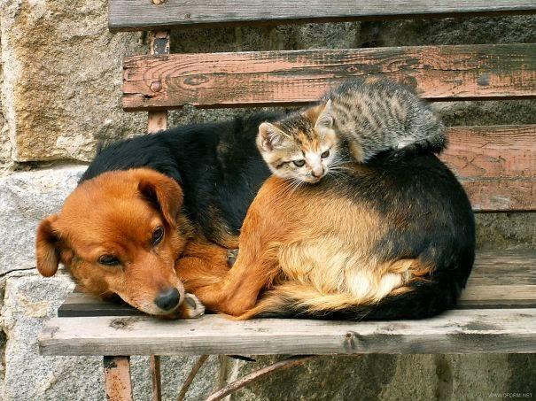 omorfos-kosmos.gr - Γάτες που χρησιμοποιούν σκύλους για...μαξιλάρια (Εικόνες)