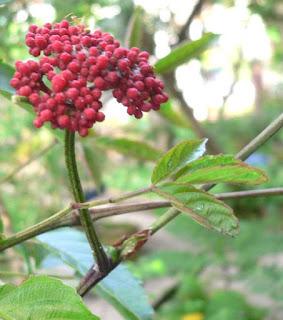 Điều trị bệnh thấp khớp bằng cây gối hạc