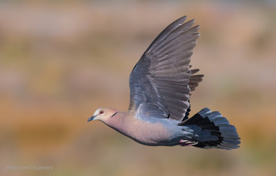 Red-Eyed Dove in Flight - Woodbridge Island, Cape Town