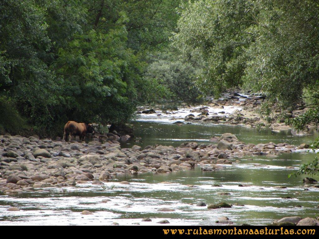 Ruta Cascadas Guanga, Castiello, el Oso: Toro en el río Trubia