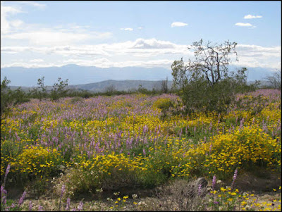 California, CA, superbloom, yellow flowers, wildflowers, brittlebush, Encelia, desert dandelions, distant mountains, Joshua Tree National Park