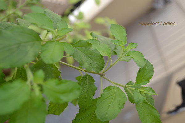Tulasi-leaves-+-tulasi-herb