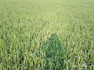 Wheat Plant 2314