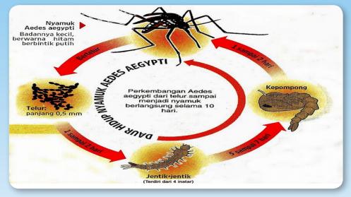 Siklus hidup Aedes agypti