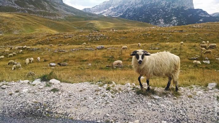 Барашки в долине Дурмитора, Черногория