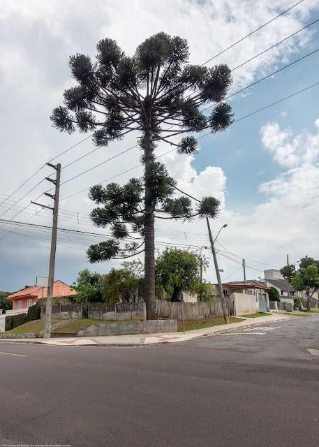 casa de madeira com magnífica araucária na Rua Brigadeiro Arthur Carlos Peralta