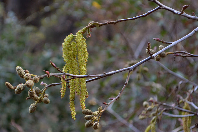 buds and tree pollen
