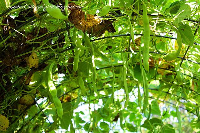 #Garden #GrowYourOwnFood #Chickens #RaisedBeds #OrganicGardening #greenbeans #Veggies #Overalls #Farmlifestyle #Farm