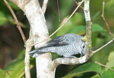 Lesser Cuckooshrike (Coracina fimbriata)