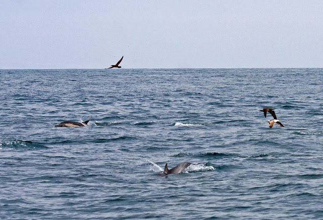 Common Dolphins and Brown Boobies
