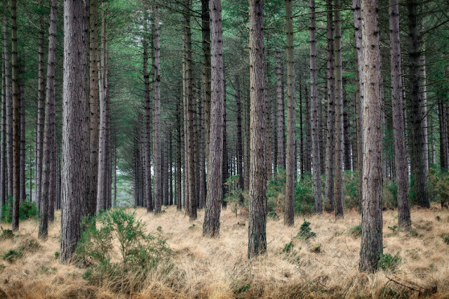 Rows of huge pine trees topped with an emerald canopy at Studland Bay