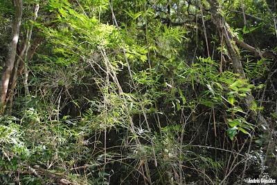 Tacuarembó Chusquea ramosissima