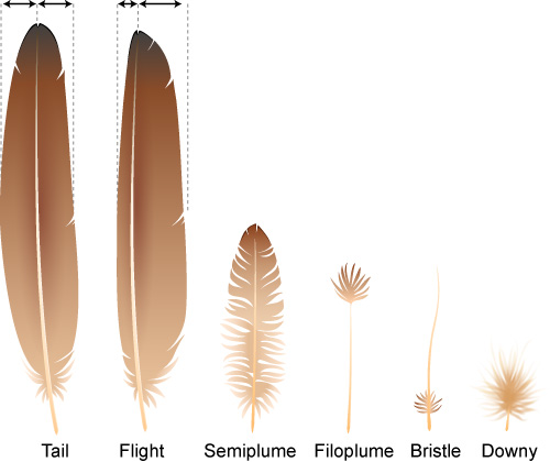 Different bird feathers - photo#41